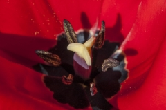130427_tulip_0015