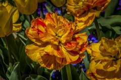 130427_tulip_0064