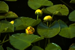 Lily Pad and Flowers
