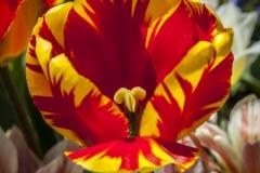 130427_tulip_0040